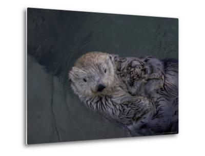A Sea Otter Gazes at the Camera-Taylor S^ Kennedy-Metal Print