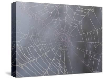 A Close View of Water Drops on a Spider Web-Taylor S^ Kennedy-Stretched Canvas Print