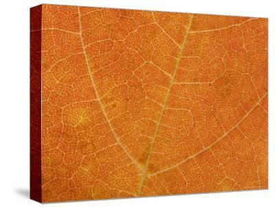 A Close View of the Veins and Cells of a Leaf in Autumn Color, Washington, District of Columbia-Taylor S^ Kennedy-Stretched Canvas Print