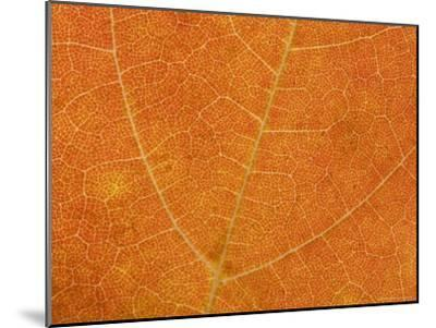 A Close View of the Veins and Cells of a Leaf in Autumn Color, Washington, District of Columbia-Taylor S^ Kennedy-Mounted Photographic Print