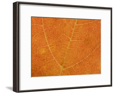 A Close View of the Veins and Cells of a Leaf in Autumn Color, Washington, District of Columbia-Taylor S^ Kennedy-Framed Photographic Print
