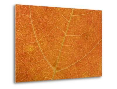 A Close View of the Veins and Cells of a Leaf in Autumn Color, Washington, District of Columbia-Taylor S^ Kennedy-Metal Print