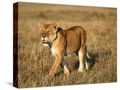A Young Lion Crosses a Grassland-Norbert Rosing-Stretched Canvas Print