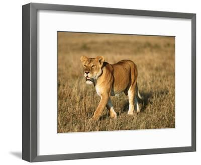 A Young Lion Crosses a Grassland-Norbert Rosing-Framed Photographic Print