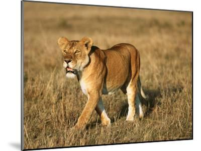 A Young Lion Crosses a Grassland-Norbert Rosing-Mounted Photographic Print