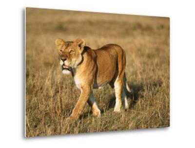 A Young Lion Crosses a Grassland-Norbert Rosing-Metal Print