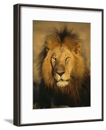 A Portrait of a Male African Lion Sitting in the Sun--Framed Photographic Print