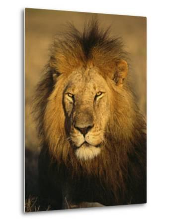 A Portrait of a Male African Lion Sitting in the Sun--Metal Print