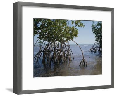 Root Legs of Red Mangroves Extend into Biscayne Bay-Medford Taylor-Framed Photographic Print