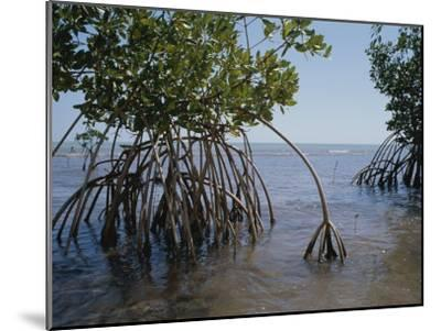 Root Legs of Red Mangroves Extend into Biscayne Bay-Medford Taylor-Mounted Photographic Print