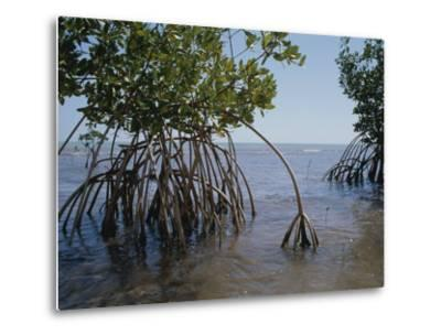 Root Legs of Red Mangroves Extend into Biscayne Bay-Medford Taylor-Metal Print