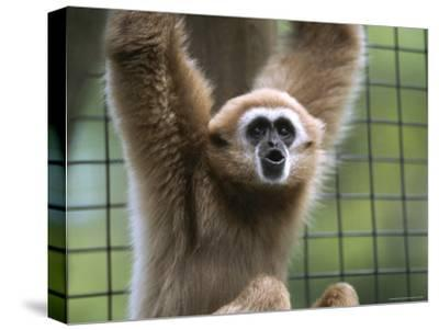 Close View of a White-Handed Gibbon-Joel Sartore-Stretched Canvas Print