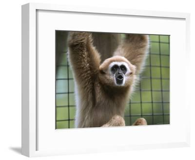 Close View of a White-Handed Gibbon-Joel Sartore-Framed Photographic Print