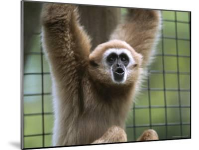 Close View of a White-Handed Gibbon-Joel Sartore-Mounted Photographic Print