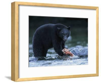 Black Bear with Salmon Carcass-Joel Sartore-Framed Photographic Print