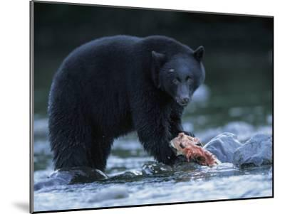 Black Bear with Salmon Carcass-Joel Sartore-Mounted Photographic Print