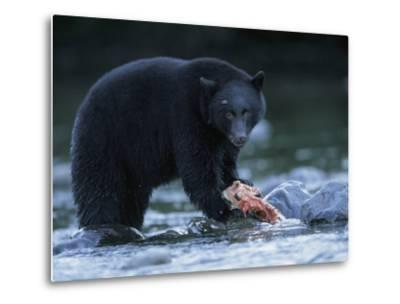 Black Bear with Salmon Carcass-Joel Sartore-Metal Print