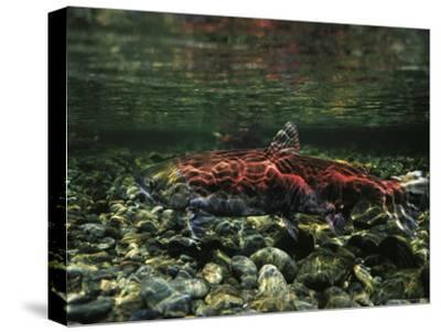 Salmon Underwater, Clayoquot Sound, Vancouver Island-Joel Sartore-Stretched Canvas Print