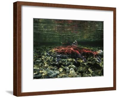 Salmon Underwater, Clayoquot Sound, Vancouver Island-Joel Sartore-Framed Photographic Print