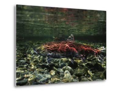Salmon Underwater, Clayoquot Sound, Vancouver Island-Joel Sartore-Metal Print