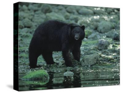 Black Bear Fishing-Joel Sartore-Stretched Canvas Print