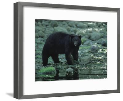 Black Bear Fishing-Joel Sartore-Framed Photographic Print