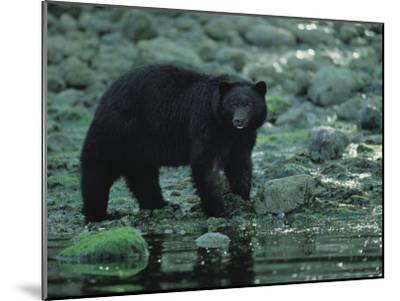 Black Bear Fishing-Joel Sartore-Mounted Photographic Print