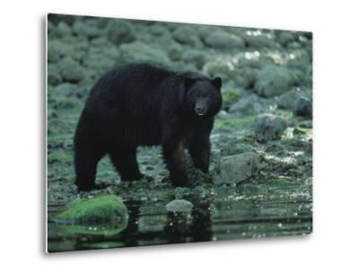Black Bear Fishing-Joel Sartore-Metal Print