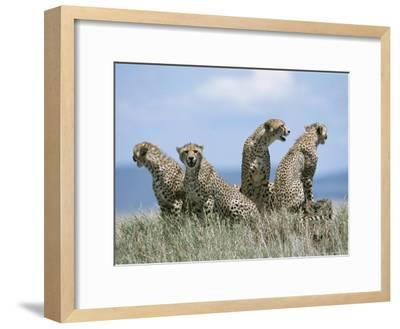 A Cheetah Family-David Pluth-Framed Photographic Print