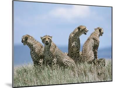 A Cheetah Family-David Pluth-Mounted Photographic Print