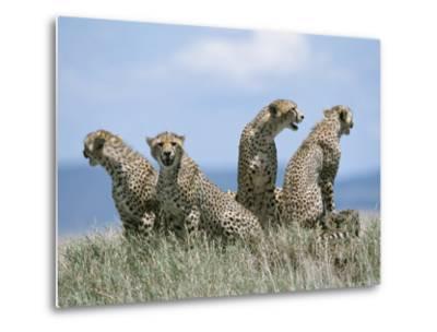 A Cheetah Family-David Pluth-Metal Print