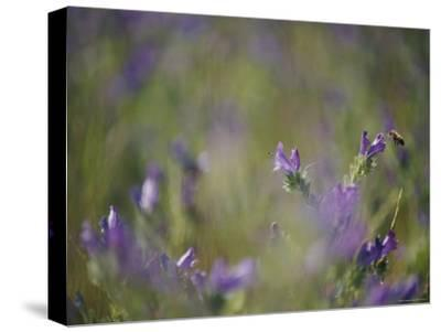 Bee Pollinating Wildflowers-Jason Edwards-Stretched Canvas Print
