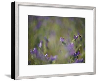 Bee Pollinating Wildflowers-Jason Edwards-Framed Photographic Print