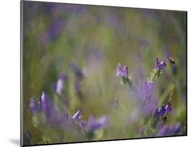 Bee Pollinating Wildflowers-Jason Edwards-Mounted Photographic Print
