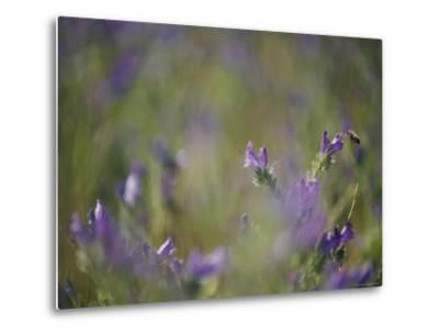 Bee Pollinating Wildflowers-Jason Edwards-Metal Print