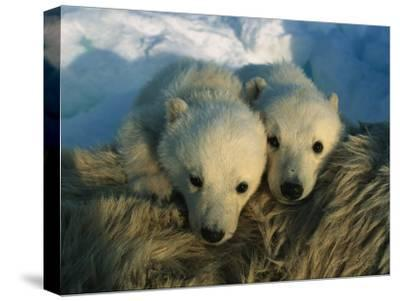 A Pair of Young Polar Bear Cubs-Norbert Rosing-Stretched Canvas Print