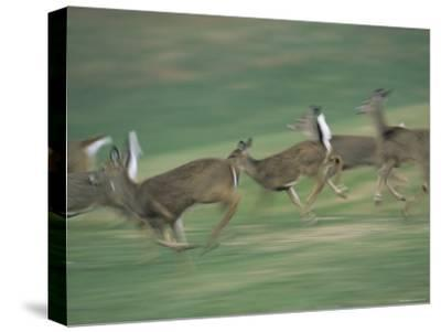 Panned View of White-Tailed Deer (Odocoileus Virginianus) Running-Michael Fay-Stretched Canvas Print