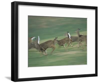 Panned View of White-Tailed Deer (Odocoileus Virginianus) Running-Michael Fay-Framed Photographic Print