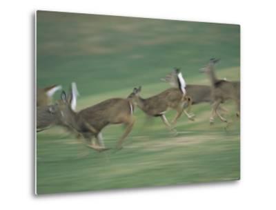 Panned View of White-Tailed Deer (Odocoileus Virginianus) Running-Michael Fay-Metal Print