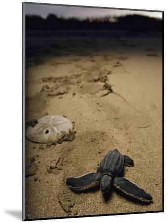 Baby Leatherback Turtle on Beach Near Sand Dollar-Steve Winter-Mounted Photographic Print