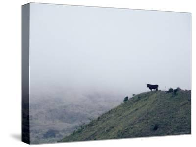 Lone Bull on Hill in Fog-Steve Winter-Stretched Canvas Print