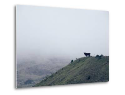Lone Bull on Hill in Fog-Steve Winter-Metal Print