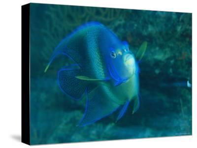 A Graceful Angelfish Swims in the Tropical Waters of Fiji-Tim Laman-Stretched Canvas Print