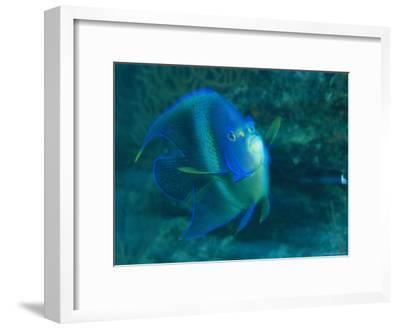 A Graceful Angelfish Swims in the Tropical Waters of Fiji-Tim Laman-Framed Photographic Print