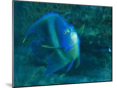 A Graceful Angelfish Swims in the Tropical Waters of Fiji-Tim Laman-Mounted Photographic Print