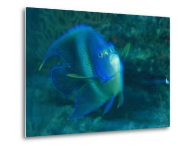 A Graceful Angelfish Swims in the Tropical Waters of Fiji-Tim Laman-Metal Print