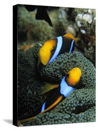 A Pair of Orange Fin Anemonefish Sleep Amid Sea Anemone Tentacles-Tim Laman-Stretched Canvas Print