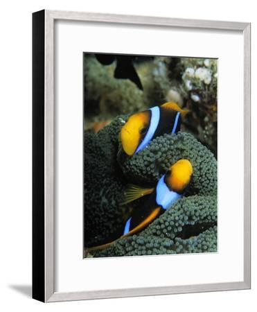 A Pair of Orange Fin Anemonefish Sleep Amid Sea Anemone Tentacles-Tim Laman-Framed Photographic Print