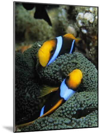 A Pair of Orange Fin Anemonefish Sleep Amid Sea Anemone Tentacles-Tim Laman-Mounted Photographic Print