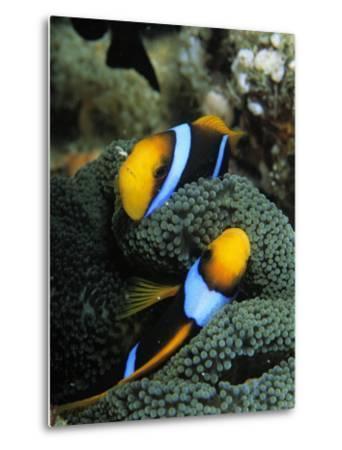 A Pair of Orange Fin Anemonefish Sleep Amid Sea Anemone Tentacles-Tim Laman-Metal Print